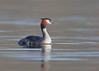 Great crested Grebe (Martial2010) Tags: great crested grebe fife loch canon