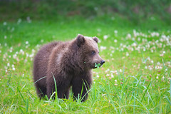 A brown bear cub with a clover! (WhiteEye2) Tags: saintpatricksday stpatricksday clover brownbearcub brownbear cub wildlife nature alaska lakeclarknationalparkandpreserve cute adorable