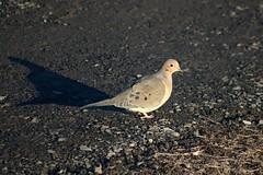 Mourning Dove Walking On Driveway 007 - Zenaida Macroura (Chrisser) Tags: birds bird doves dove mourningdoves mourningdove zenaidamacroura nature ontario canada canoneosrebelt6i canonef75300mmf456iiiusmlens columbidae