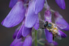 2018_03_18_bee_wisteria (Funkyhorse) Tags: canonmacro
