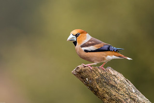 Hawfinch / Appelvink