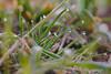 Morning Dew (Gerald Lang) Tags: sonyalpha7ii sonya7ii gras sonyilce7m2 makro macro grass wassertropfen lesgouttesdeau waterdrops tamronaf90mm128macro11 import26032018