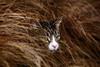 'Camouflage' (Jonathan Casey) Tags: tabby grass nikon d850 200mm f2 vr