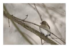 Pinson des arbres (db_copyright photography) Tags: hiver neige pontàmousson nature pinson birds oiseaux billebaude