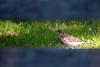 In the space between the bars (pakerholm) Tags: fieldfare turduspilaris björktrast trast turdus thrush sigma150600 sigma150600f563dgsports sigma150600mmf563 sigmasport sigma 150600 600 nikon d600 d610 nikond600 nikond610 fullframe fullformat fågelskådning ornitologi ornithology birdwatching birds bird fågel fåglar linnut lintu wildlife animals vildadjur oxelösund södermanland sörmland sweden sverige
