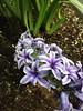 Hyacinthus orientalis_NY2 (Alka Khare) Tags: hyacinthus asparagaceae