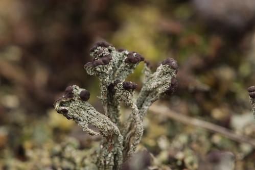 Cladonia cf. cariosa