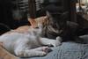 wedged in (rootcrop54) Tags: otis dilute orange male tabby cousin aqua pillow neko macska kedi 猫 kočka kissa γάτα köttur kucing gatto 고양이 kaķis katė katt katze katzen kot кошка mačka gatos maček kitteh chat ネコ