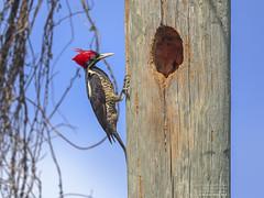 Lineated Woodpecker female (Dryocopus lineatus) Puerto Morelos, Mexico 2018 (Ricardo Bitran) Tags: dryocopuslineatus lineatedwoodpeckerfemale puertomorelos mexico 2018