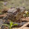 Baby gator (montanamattdavis) Tags: wildlifephotography marsh texasstateparks outdoors cute babyanimal g9 lumix houston texas gator wetlands bayou swamp nature alligator brazosbendstatepark