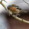 Common Chaffinch cropped (jayneboo) Tags: cl adaptor efm ml 100400 handheld 1160 56 manual focus iso 800 chaffinch bird home
