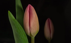 Friday's Flower Power... (Rainer Fritz) Tags: tulpe tulip bud natur knospe ffp fa