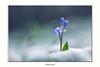 IMGP7602 copie (Francinen89) Tags: scille fleur flower nature macro macrophotographie forêt forest printemps bleu neige snow ambiance proxi