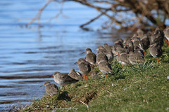 Redshank (Dougie Edmond) Tags: bird birds water river doon nature springtime wildlife ayr scotland unitedkingdom gb