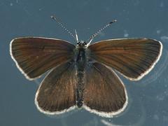 Aricia artaxerxes ♂ - Northern brown argus (male) - Голубянка изменчивая (самец)