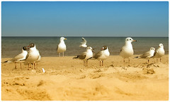 Strandräuber (Heinze Detlef) Tags: möwen usedom insel sand strand wasser ostsee pelikanvogelvögelwasser