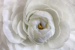 White beauty (Hanna Tor) Tags: macro flower white nature hannator garden