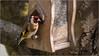 LR7-PGH55099 (JB89100) Tags: 2018 chardonneret oiseaux stmartindt ou quoi
