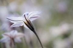 underworld (christophe.laigle) Tags: christophelaigle fleur macro nature flower fuji blanc xpro2 xf60mm white