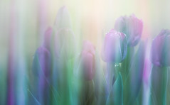 Rise of the Tulips (Charles Opper) Tags: canon georgia intentionalcameramovement spring tulips bokeh color doubleexposure dreamy flowers light motionblur nature pastel raindrops soft waterdrops