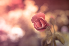 Sony a7 50mm (Jasrmcf) Tags: ilce7 sonyalphaa77 sonya7 sel50f18f dof delicate depthoffield bokeh bokehlicious bokehgraph smooth blur flower petals pink nature ngc sony50mm 50mm18 greatphotographers colours colourartaward closeup beautiful macro macrotube