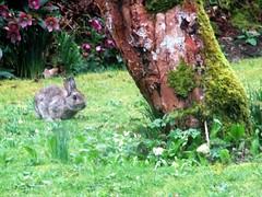 Westside Cottage - Easter bunny (pefkosmad) Tags: cornwall cardinham bodmin westsidecottage england uk southwestengland holiday vacation vacances cottage weddinganniversary selfcatering bunnyshill bunny garden rabbit