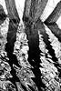 reflected trees (Francis Mansell) Tags: tree willow water reflection river ripple ripples avon riveravon stratforduponavon monochrome blackwhite niksilverefexpro2 trunk bark flood