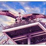 An osprey landing on nest where mate awaits. thumbnail