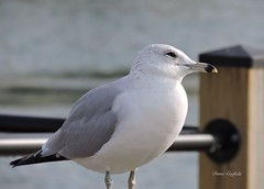 Why do all these people keep taking my picture? (dianecorfield) Tags: seagull bird niagarafallscanada niagarariver feathers beak