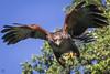 Charging Forward - Sonoran Harris Hawk (lycheng99) Tags: hover wings spreading spreadingwings flight fly sonoranharrishawk sonoran hawk bird birdinflight birdphotography westcoastfalconry approach chargingforward