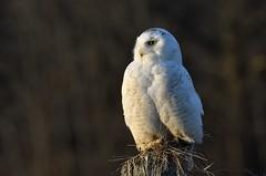 Golden Hour (hd.niel) Tags: snowyowl goldenhour roadside owls nature wildlife lateseasonsnowy spring photography ontario arctic