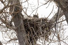 Great Horned Owl on her nest