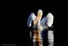 American White Pelican - IMG_7249-Edit (arvind agrawal) Tags: americanwhitepelican whitepelican pelican edlevin edrlevin sandywoollake lakebird wildlife canon eos1dx ef600 2x 1200mm arvindagrawal