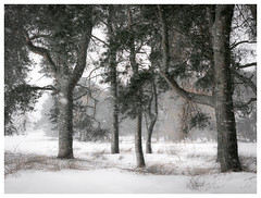 Meeting of the ents (GJ Duncan Photography) Tags: trees forest woods woodlands pinetrees scotspine snow snowing cold landscape treescape ents lordoftherings lotr quietlandscape scotland walkinginthewoods relationshipswithtrees treepersonality grasses white season winter beastfromtheeast nikon