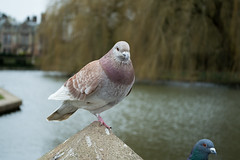 20180322-22_Coombe Abbey Country Park - Pigeon (gary.hadden) Tags: coombeabbey coombepark coventry warwickshire countrypark rambling countrywalking pidgeon bird colourful coombepool posing