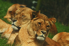 230. Lioness (1000 Wildlife Photo Challenge) Tags: lion lioness cat bigcat