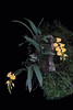 Odontoglossum noezlianum Yellow (Guido Deburghgraeve) Tags: odontoglossum noezlianum yellow