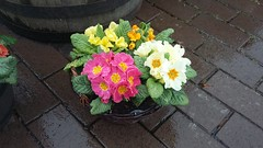 Primroses, Inverness, April 2018 (allanmaciver) Tags: primroses inverness highlands scotland colours bright cheer hardy wet rain easter allanmaciver