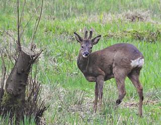 Roe Deer Buck - Thornley Woods