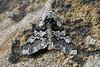 Oak Beauty ... Biston strataria (AndyorDij) Tags: oakbeauty bistonstrataria moth insects insect stone shop england empingham rutland uk unitedkingdom andrewdejardin 2018 nationalmothweek