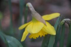"""DSC07704 (Old Lenses New Camera) Tags: sony a7r kodak folmer """"folmer schwing"""" factograph 100mm f45 plants garden flowers daffodils"""