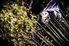 Owl @ Seal Bay Conservation Park, Kangaroo Island, South Australia, Australia ([ PsycBob ]) Tags: owl flight eule flug national park tierschutz raptor domain vogel