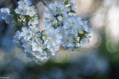 peak florescence (Tschissl) Tags: garden austria vintagelens frühling leoben location garten trioplan28100 steiermark österreich