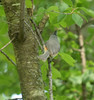 Tufted Titmouse May 2017 (turn off your computer and go outside) Tags: 2017 carverroehlpark lifebird may rockcountyparksystem wi wisconsin clearday critter identified nature outdoors spring springtime artistreference blurry gazebo inflight lattice octagons roof woodworking