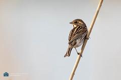 Reed Bunting (sattarmughal) Tags: vlaardingen rotterdam bluethroat netherlands birdsphotography reedbunting