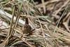 9Q6A8851 (2) (Alinbidford) Tags: alancurtis alinbidford brandonmarsh nature wildbirds wildlife wren