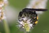IMG_9624.Abeille qui butine ( UNIXetvous ) Tags: bee insect flower bokeh scoliehirsute