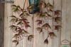 Clowesetum P_20180406_121658_vHDR_On[1] (Valdison Ap. Gil, Rolim de Moura RO) Tags: catasetum catasetinae flores orquídeas orkides rondônia brasil brazil faustoi gbpicone spitzii osakadianum meae schunkei perazolianum sp semicirculatum cycnoches haagii pentadactylon pentadactylum boyi parguazense valdisonianum saccatum multifidum multifissum pileatum galeandra sanrtarenensis magnicolumna osculatum hopkinsoninaum gnomos cooperi santarena clowesetum cycnodes winw delight mesquitae juruenense