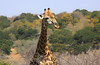 Guckst du? (Zoom58.9) Tags: tier tiere giraffe bäume büsche nahaufnahme savanne wildtiere wildnis afrika namibia etosha animal animals giraffes shrubbery close savannah wildlife wilderness africa safari canon eos 50d landschaft landscape natur nature