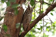 Pacific Screech Owl / petit-duc de Cooper (ricketdi) Tags: bird birdofcostarica pacificscreechowl petitducdecooper megascopscooperi coth coth5 ngc sunrays5